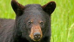 Bears are on the move in Mississippi